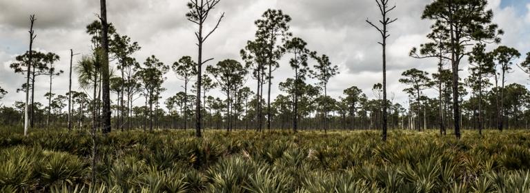 Saw palmettos and slash pines