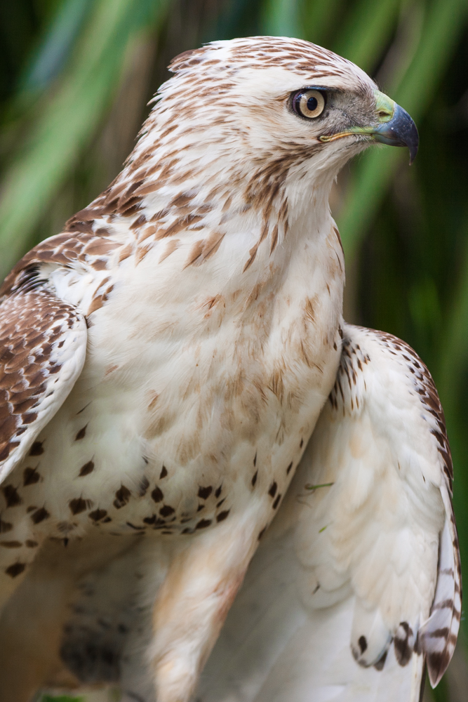 White-phase of the red-tailed hawk