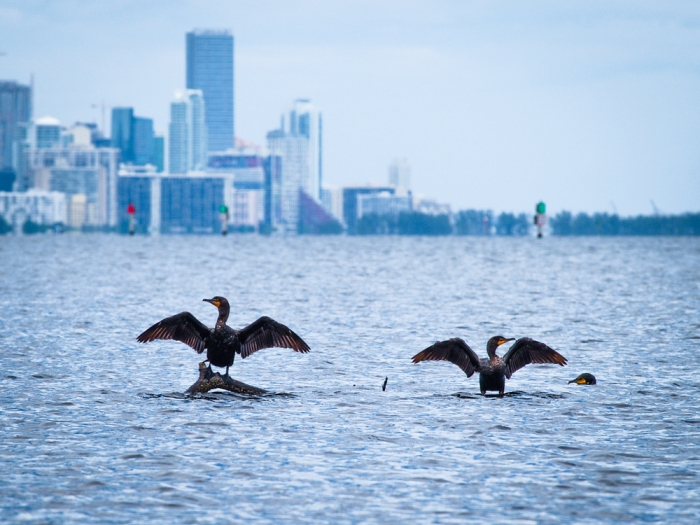 Cormorants take Biscayne Bay
