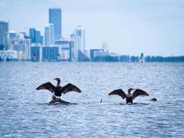 Cormorants take Biscayne Bay