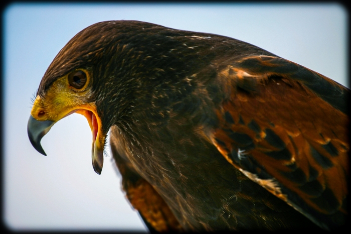 Harris's hawk speaking aloud
