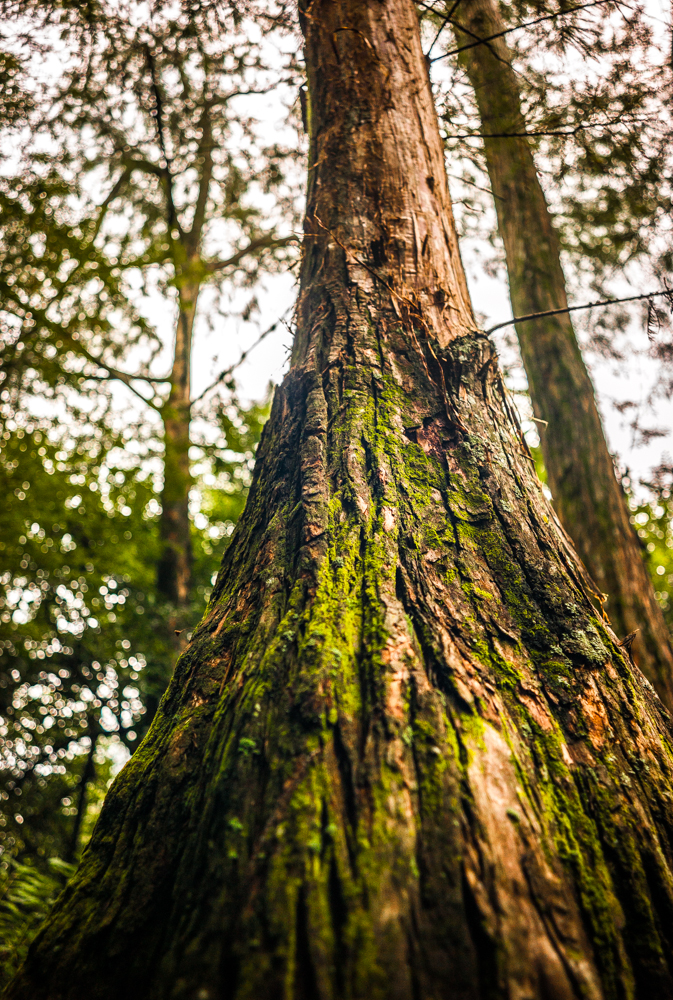 Cypress guardian