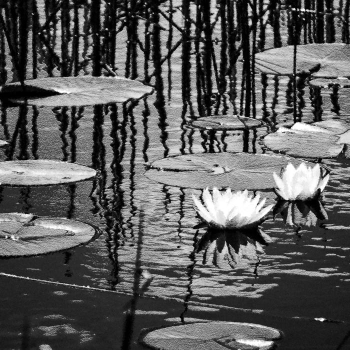 lilies lie in wait