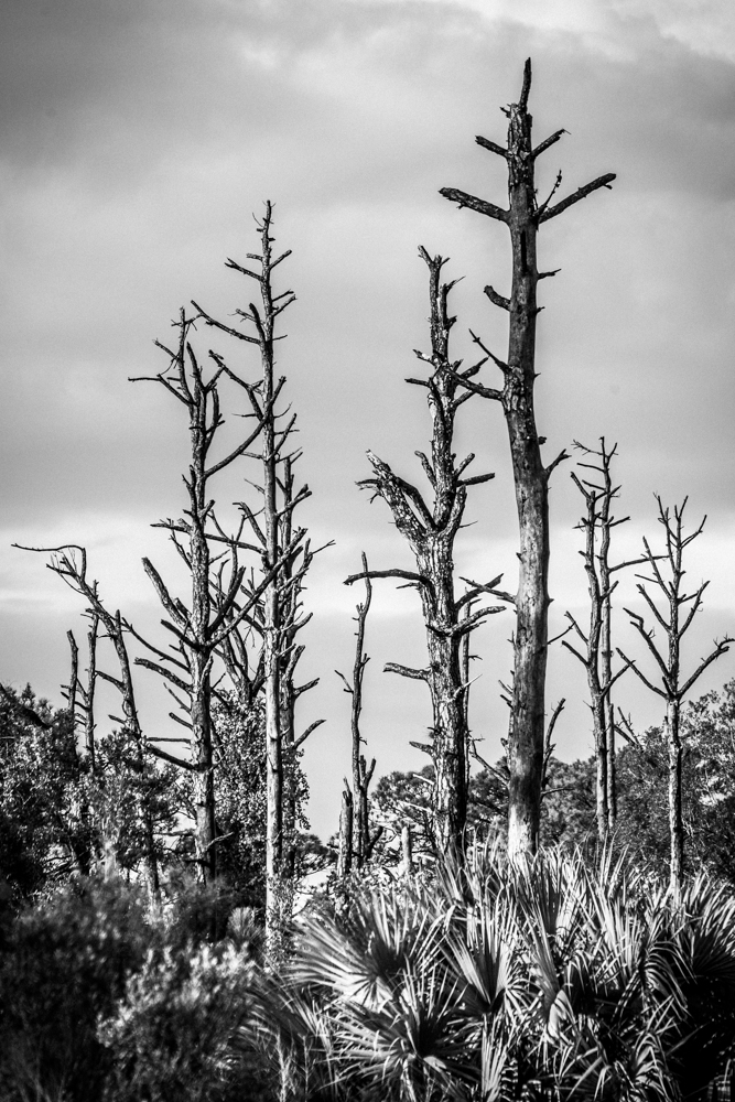 Dead Pine Forest