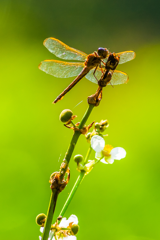Of dragonflies and arrowheads