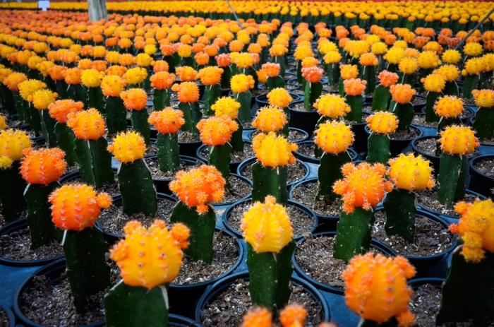 Cacti naranjo