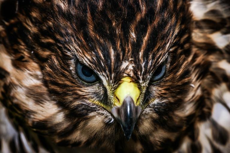 Cooper's Hawk stare