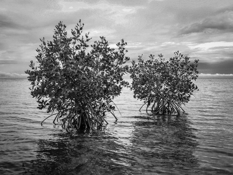 A tale of two mangroves