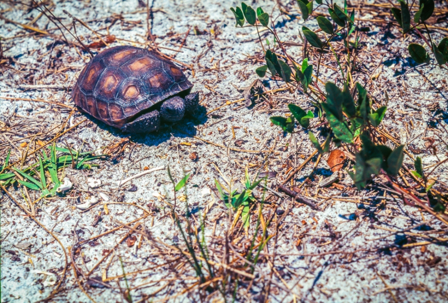 Gopher tortoise on film