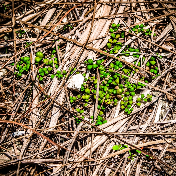 Deltoid spurge