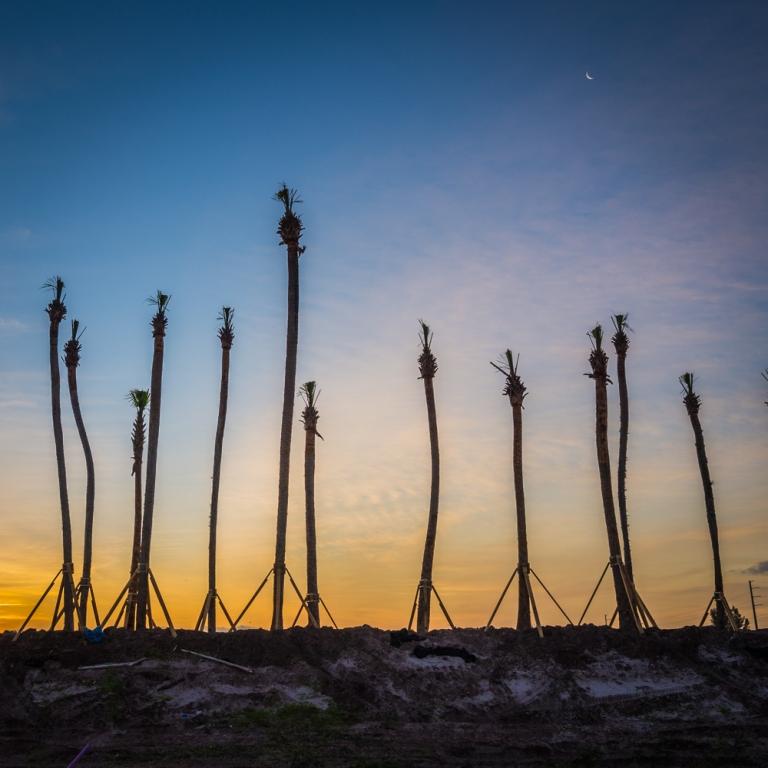 Artful Sabal palms greet the morning light